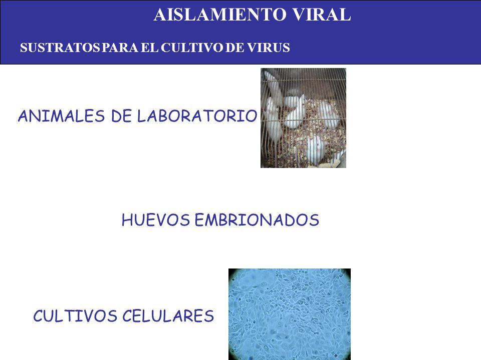 ANIMALES DE LABORATORIO HUEVOS EMBRIONADOS CULTIVOS CELULARES AISLAMIENTO VIRAL SUSTRATOS PARA EL CULTIVO DE VIRUS