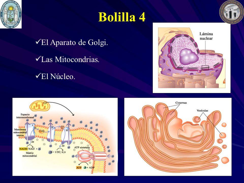 Bolilla 4 El Aparato de Golgi. Las Mitocondrias. El Núcleo.