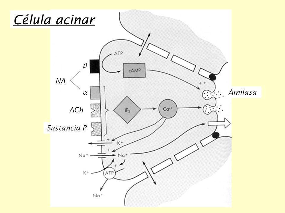 Amilasa NA ACh Sustancia P Célula acinar