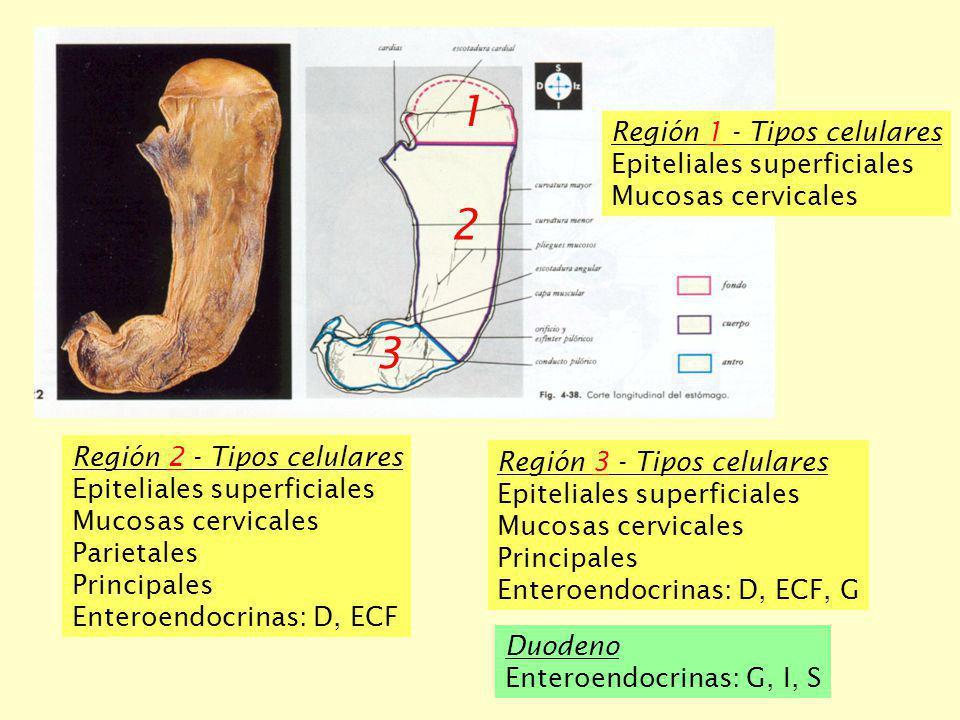 1 2 3 Región 2 - Tipos celulares Epiteliales superficiales Mucosas cervicales Parietales Principales Enteroendocrinas: D, ECF Región 1 - Tipos celular