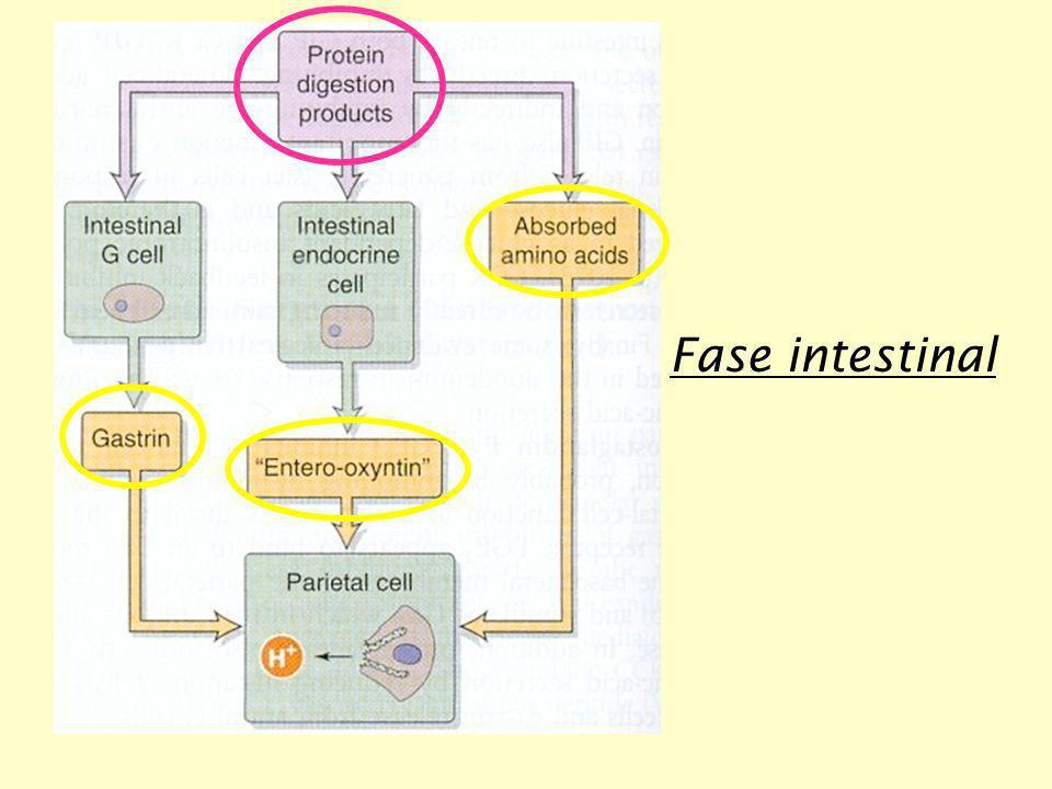 Fase intestinal