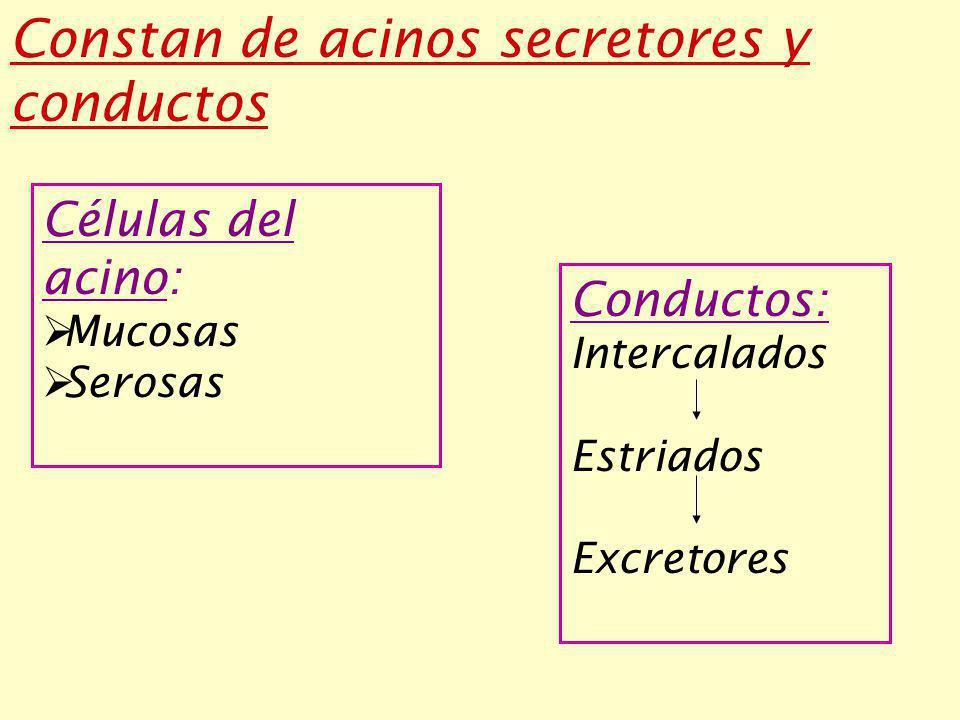 Constan de acinos secretores y conductos Células del acino: Mucosas Serosas Conductos: Intercalados Estriados Excretores