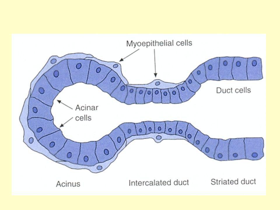 1 2 3 Región 2 - Tipos celulares Epiteliales superficiales Mucosas cervicales Parietales Principales Enteroendocrinas: D, ECF Región 1 - Tipos celulares Epiteliales superficiales Mucosas cervicales Región 3 - Tipos celulares Epiteliales superficiales Mucosas cervicales Principales Enteroendocrinas: D, ECF, G Duodeno Enteroendocrinas: G, I, S