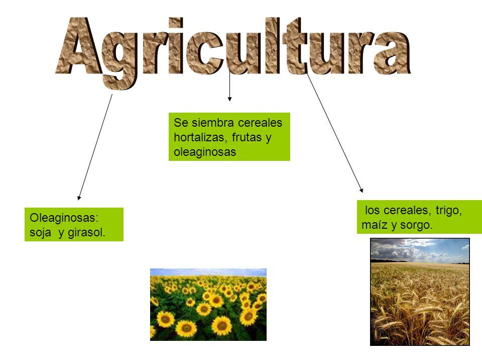 Se siembra cereales hortalizas, frutas y oleaginosas los cereales, trigo, maíz y sorgo.