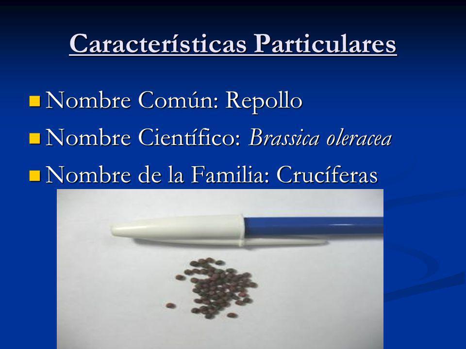 Características Particulares Nombre Común: Repollo Nombre Común: Repollo Nombre Científico: Brassica oleracea Nombre Científico: Brassica oleracea Nombre de la Familia: Crucíferas Nombre de la Familia: Crucíferas