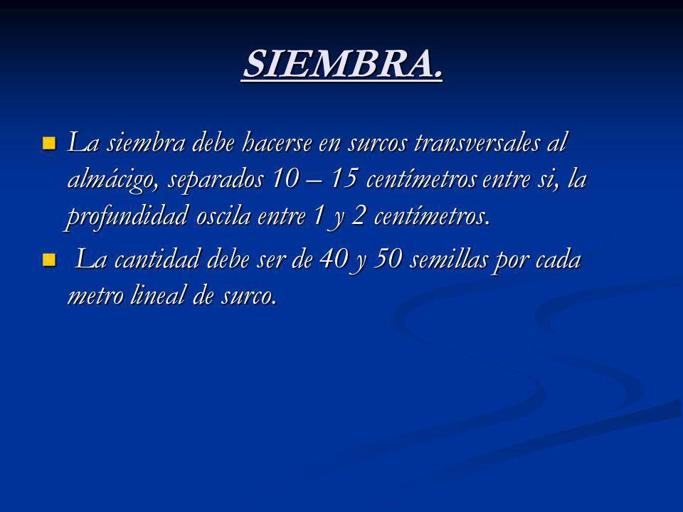 SIEMBRA. La siembra debe hacerse en surcos transversales al almácigo, separados 10 – 15 centímetros entre si, la profundidad oscila entre 1 y 2 centím