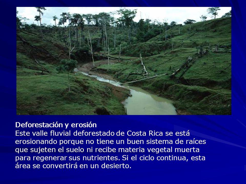 Deforestación y erosión Este valle fluvial deforestado de Costa Rica se está erosionando porque no tiene un buen sistema de raíces que sujeten el suel