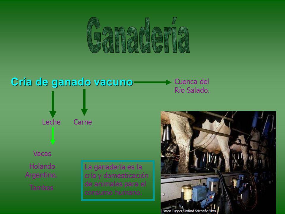 Cría de ganado vacuno LecheCarne Vacas Holando Argentino.