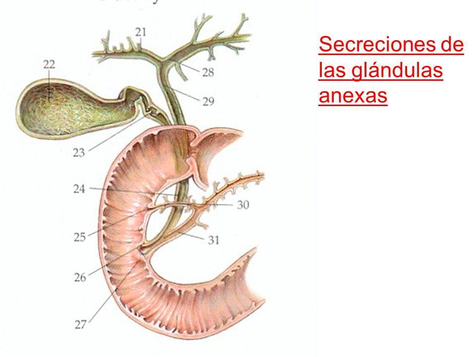 Secreciones de las glándulas anexas