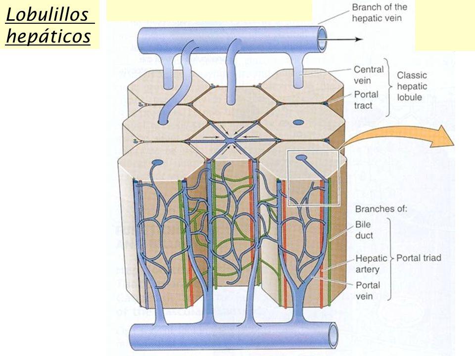 Lobulillos hepáticos
