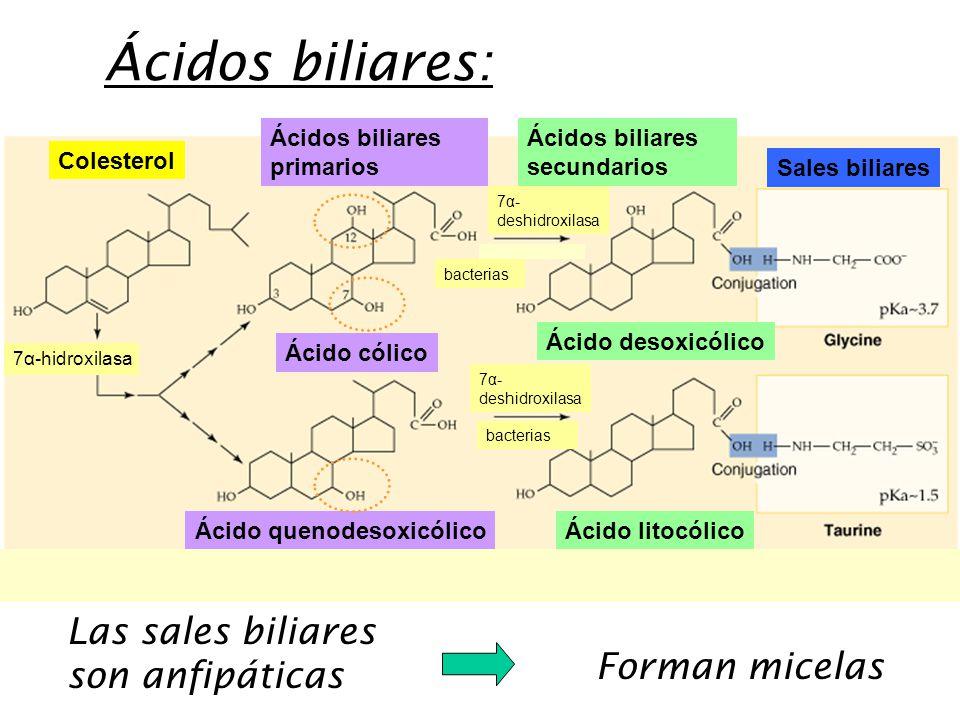 Las sales biliares son anfipáticas Forman micelas Ácidos biliares: Ácido cólico Ácido quenodesoxicólicoÁcido litocólico Ácido desoxicólico Ácidos biliares primarios Ácidos biliares secundarios Sales biliares Colesterol 7α-hidroxilasa 7α- deshidroxilasa bacterias 7α- deshidroxilasa