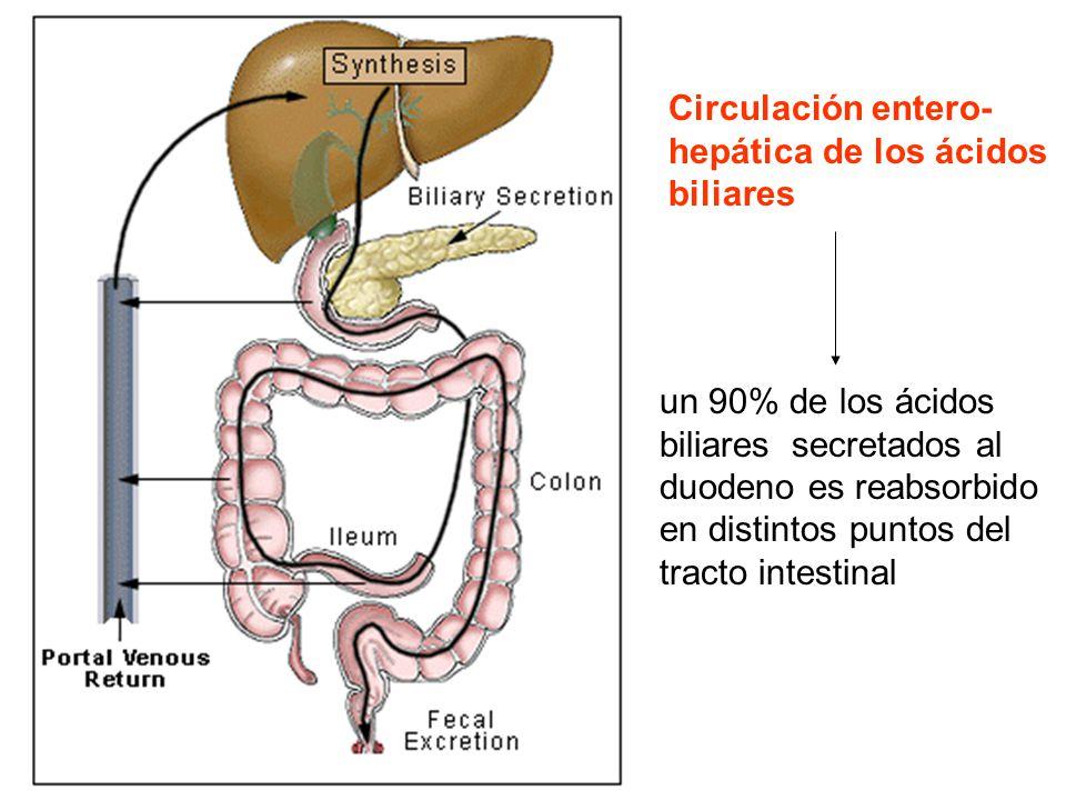 Circulación entero- hepática de los ácidos biliares un 90% de los ácidos biliares secretados al duodeno es reabsorbido en distintos puntos del tracto intestinal