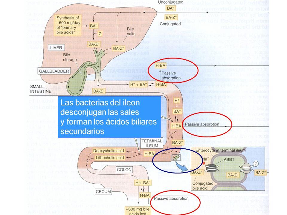 Las bacterias del ileon desconjugan las sales y forman los ácidos biliares secundarios