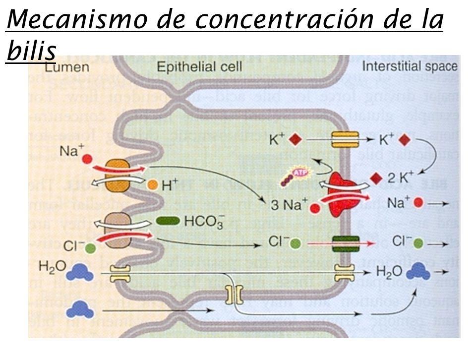 Mecanismo de concentración de la bilis