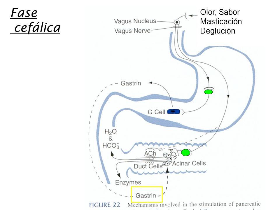 Fase cefálica Olor, Sabor Masticación Deglución