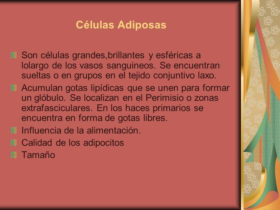 Células Adiposas Son células grandes,brillantes y esféricas a lolargo de los vasos sanguineos.