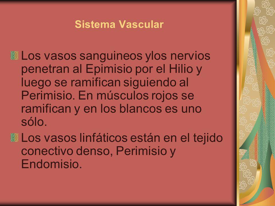 Sistema Vascular Los vasos sanguineos ylos nervios penetran al Epimisio por el Hilio y luego se ramifican siguiendo al Perimisio. En músculos rojos se