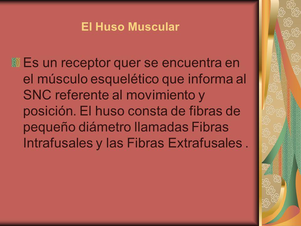 El Huso Muscular Es un receptor quer se encuentra en el músculo esquelético que informa al SNC referente al movimiento y posición. El huso consta de f