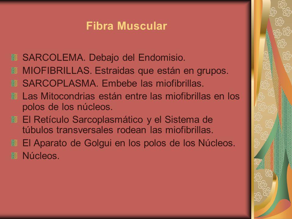Fibra Muscular SARCOLEMA. Debajo del Endomisio. MIOFIBRILLAS. Estraidas que están en grupos. SARCOPLASMA. Embebe las miofibrillas. Las Mitocondrias es