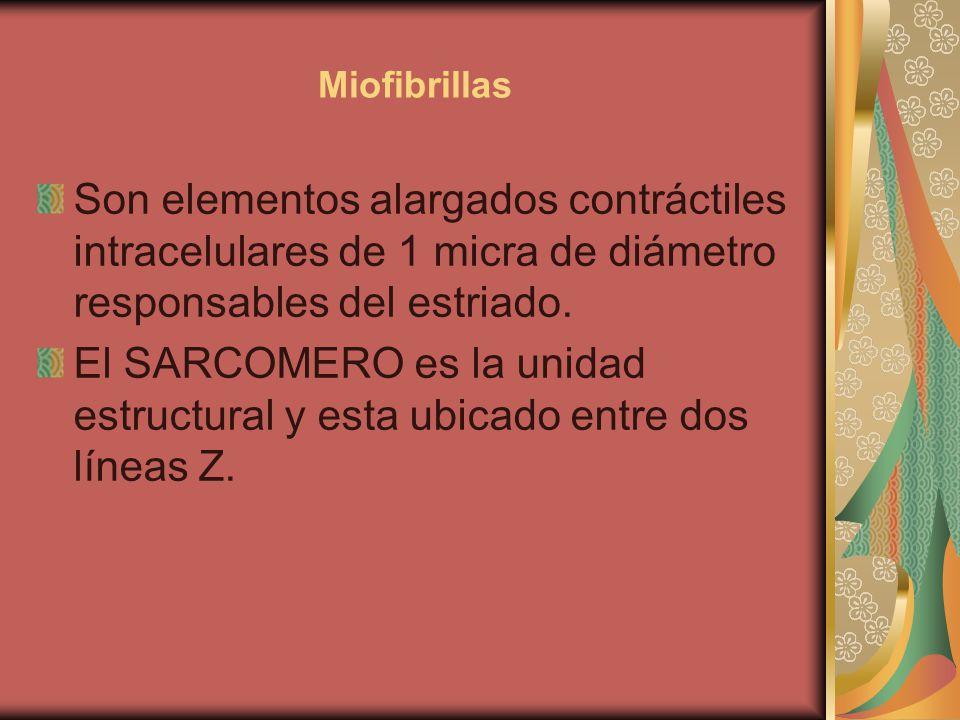 Miofibrillas Son elementos alargados contráctiles intracelulares de 1 micra de diámetro responsables del estriado. El SARCOMERO es la unidad estructur