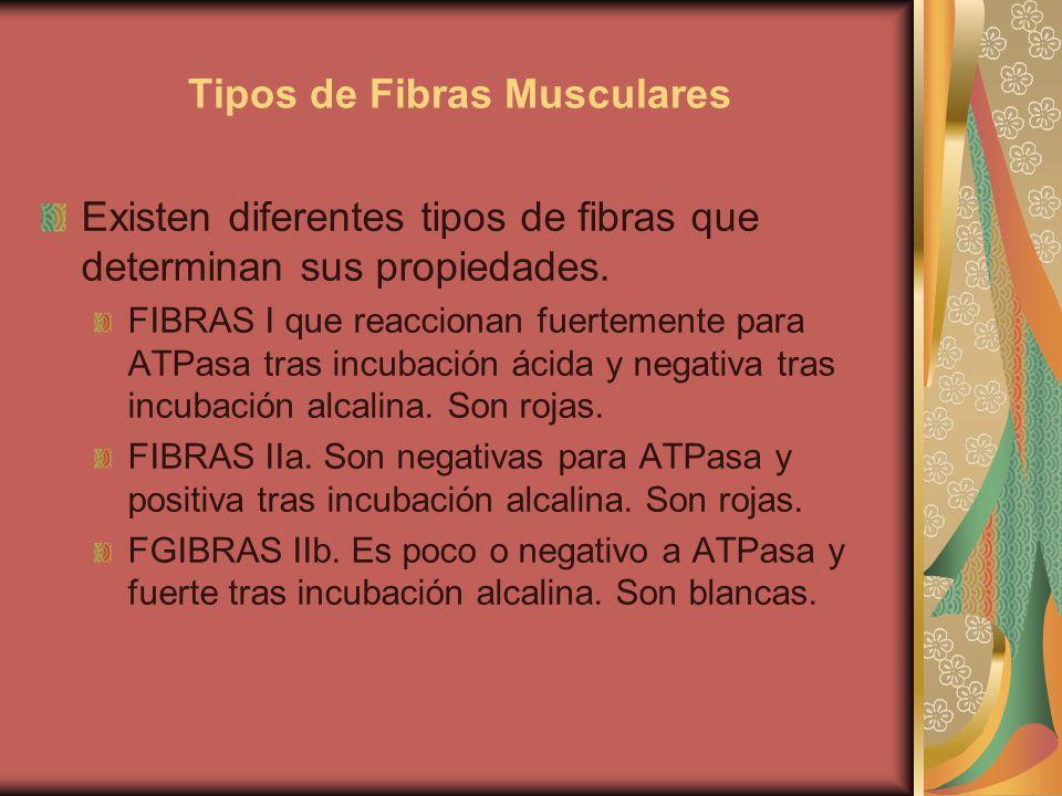 Tipos de Fibras Musculares Existen diferentes tipos de fibras que determinan sus propiedades. FIBRAS I que reaccionan fuertemente para ATPasa tras inc