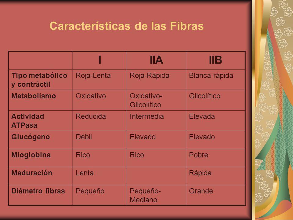 Características de las Fibras IIIAIIB Tipo metabólico y contráctil Roja-LentaRoja-RápidaBlanca rápida MetabolismoOxidativoOxidativo- Glicolítico Glico