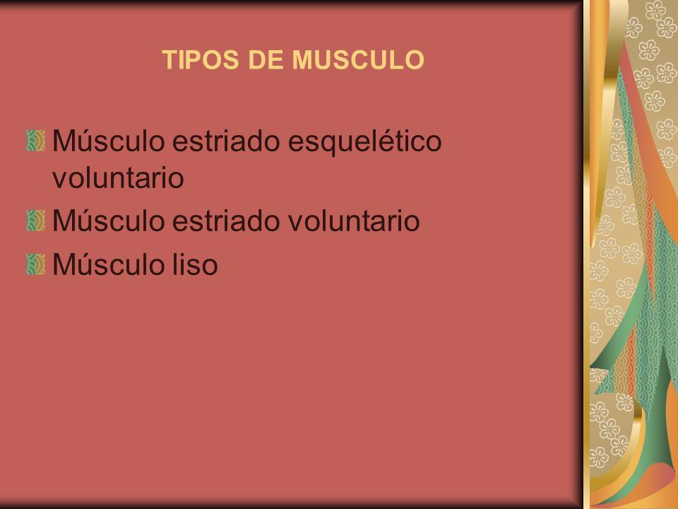 TIPOS DE MUSCULO Músculo estriado esquelético voluntario Músculo estriado voluntario Músculo liso