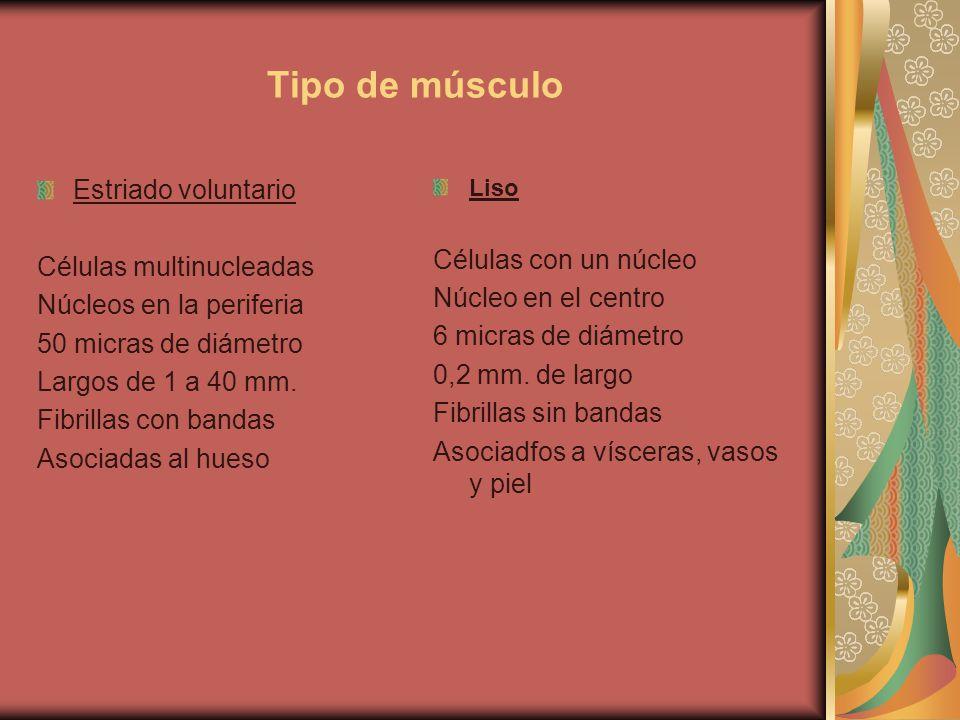 Tipo de músculo Estriado voluntario Células multinucleadas Núcleos en la periferia 50 micras de diámetro Largos de 1 a 40 mm. Fibrillas con bandas Aso