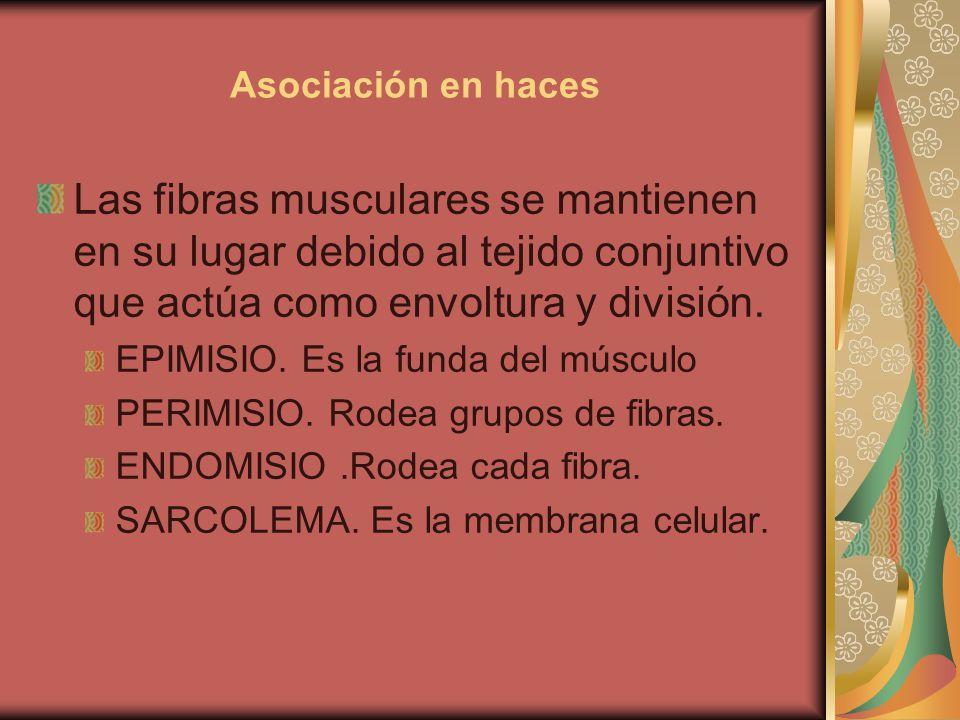 Asociación en haces Las fibras musculares se mantienen en su lugar debido al tejido conjuntivo que actúa como envoltura y división. EPIMISIO. Es la fu
