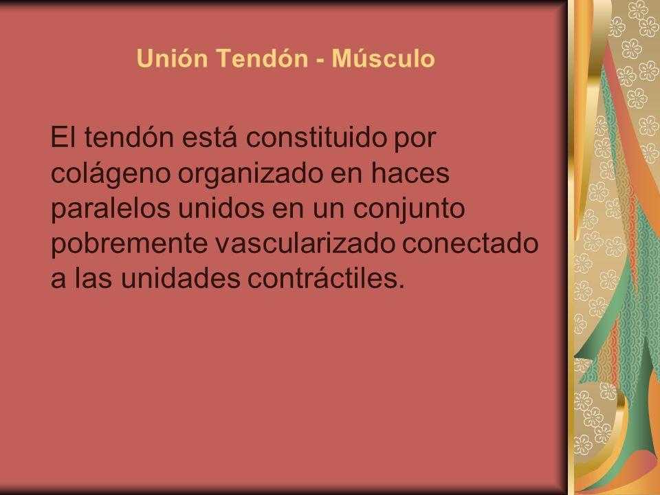 Unión Tendón - Músculo El tendón está constituido por colágeno organizado en haces paralelos unidos en un conjunto pobremente vascularizado conectado a las unidades contráctiles.