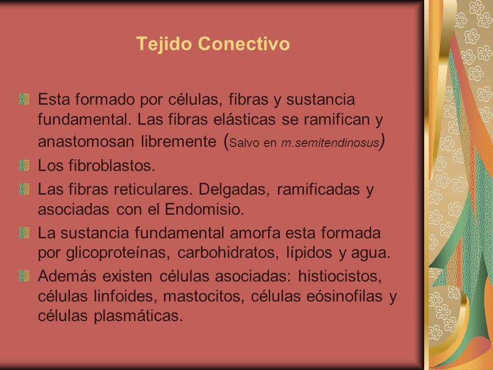 Tejido Conectivo Esta formado por células, fibras y sustancia fundamental.