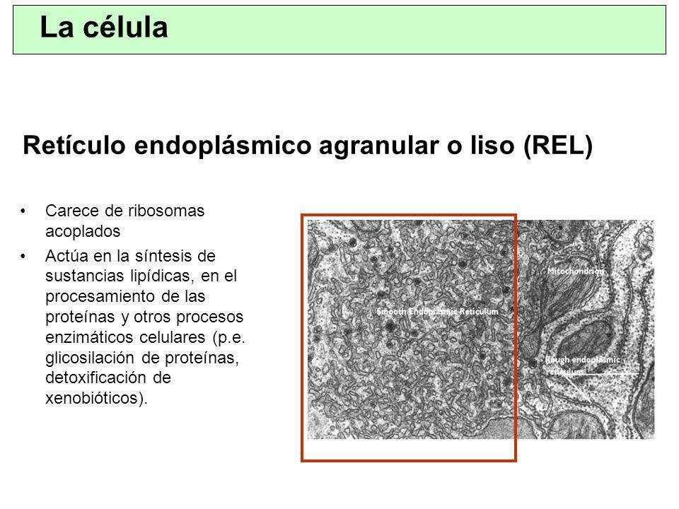 Retículo endoplásmico agranular o liso (REL) Carece de ribosomas acoplados Actúa en la síntesis de sustancias lipídicas, en el procesamiento de las pr