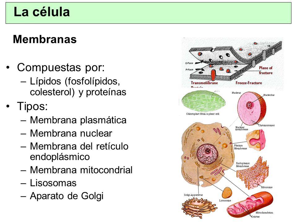 Aparato de Golgi –Intimamente relacionado con el retículo endoplásmico –Posee membranas celulares parecidas a las del REL –Consta de un apilamiento varias capas de vesículas cerradas y planas.