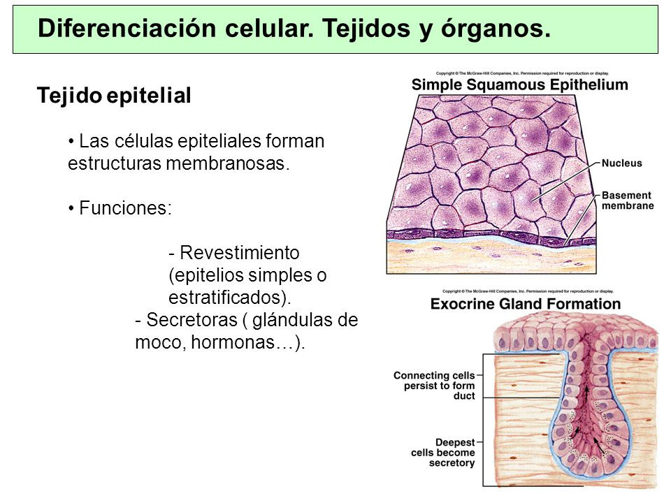 Diferenciación celular. Tejidos y órganos. Tejido epitelial Las células epiteliales forman estructuras membranosas. Funciones: - Revestimiento (epitel