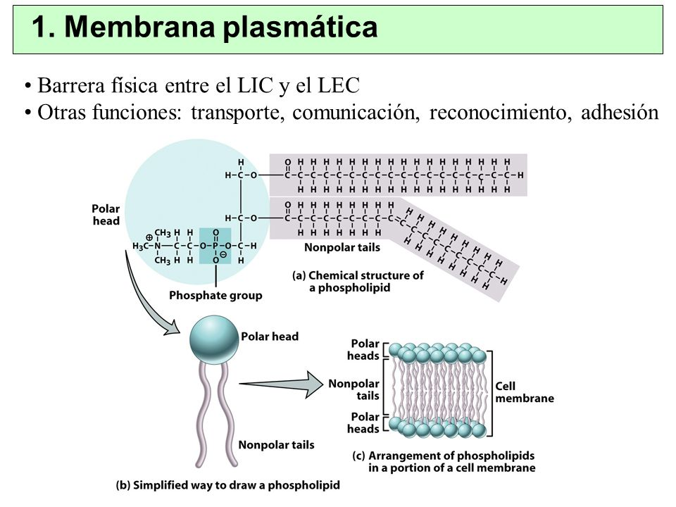 Tejido Nervioso Neuronas, especializadas en generar y conducir impulsos eléctricos.