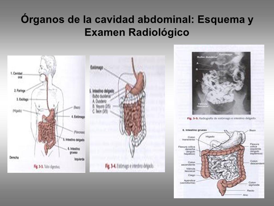 Órganos de la cavidad abdominal: Esquema y Examen Radiológico