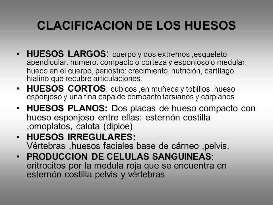 CLACIFICACION DE LOS HUESOS HUESOS LARGOS : cuerpo y dos extremos,esqueleto apendicular: humero: compacto o corteza y esponjoso o medular, hueco en el