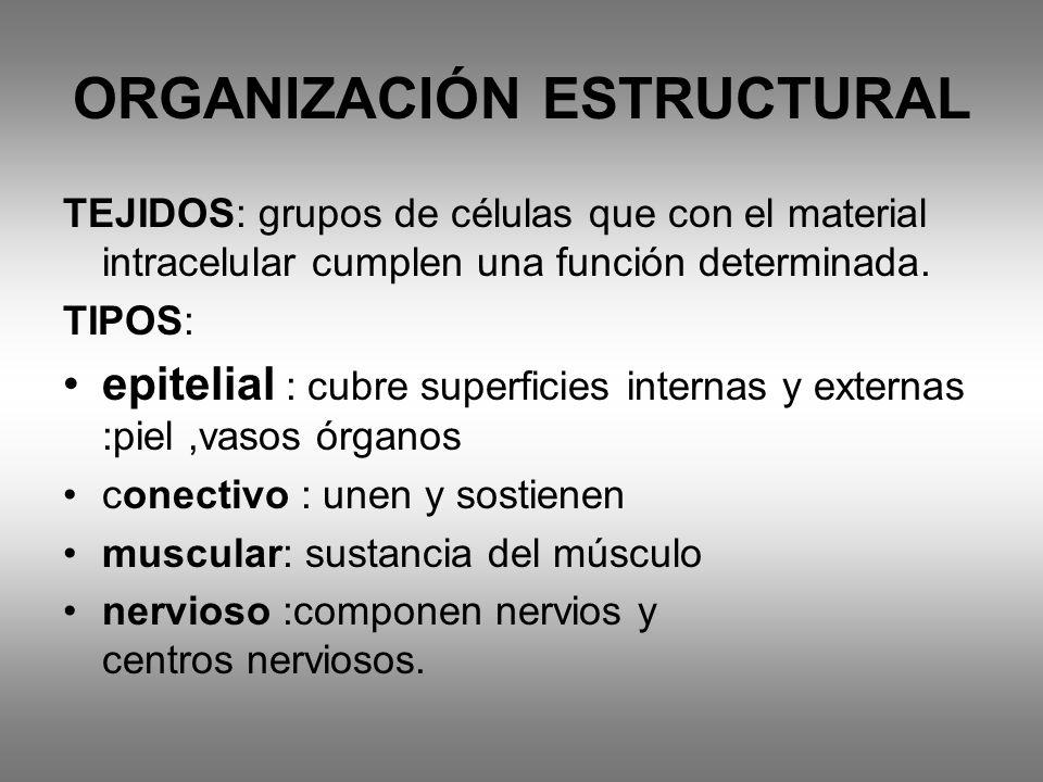 ORGANIZACIÓN ESTRUCTURAL TEJIDOS: grupos de células que con el material intracelular cumplen una función determinada. TIPOS: epitelial : cubre superfi