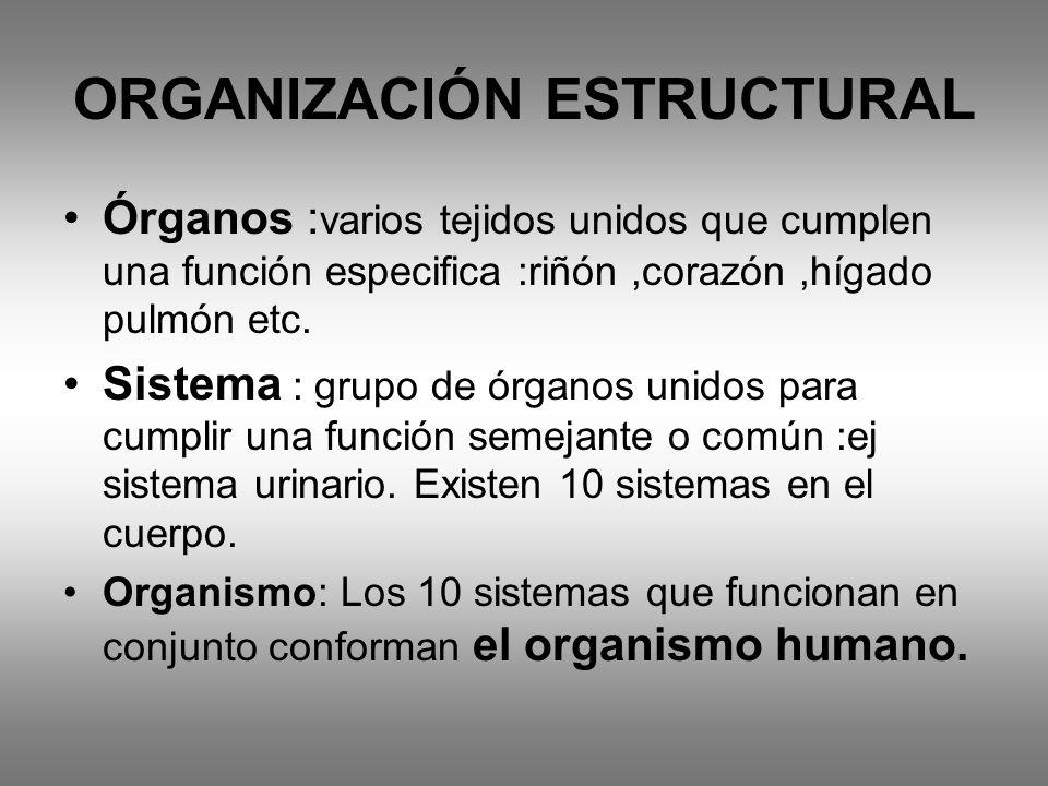 ORGANIZACIÓN ESTRUCTURAL Órganos : varios tejidos unidos que cumplen una función especifica :riñón,corazón,hígado pulmón etc. Sistema : grupo de órgan