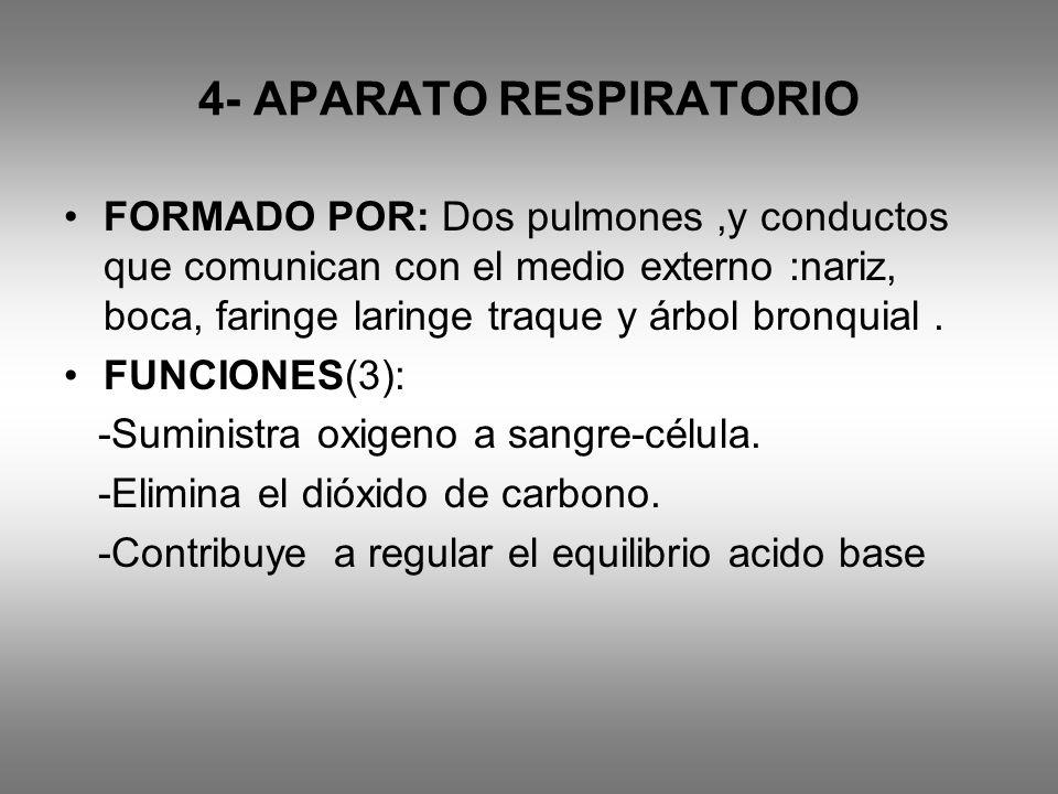 4- APARATO RESPIRATORIO FORMADO POR: Dos pulmones,y conductos que comunican con el medio externo :nariz, boca, faringe laringe traque y árbol bronquia