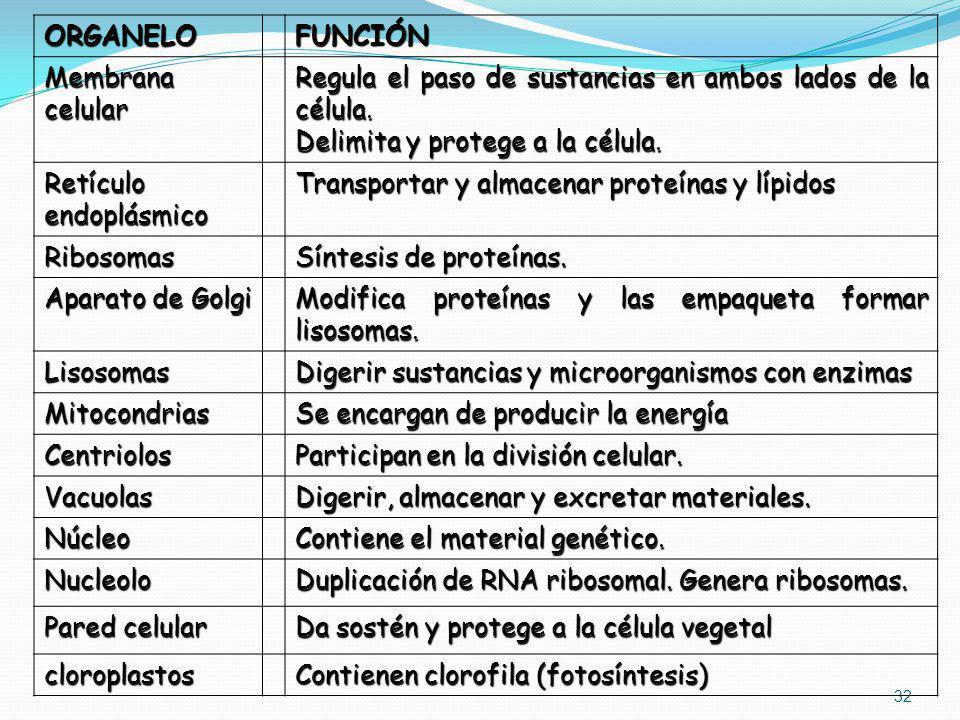 32 ORGANELOFUNCIÓN Membrana celular Regula el paso de sustancias en ambos lados de la célula. Delimita y protege a la célula. Retículo endoplásmico Tr