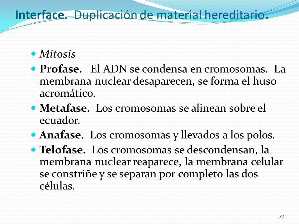 Interface. Duplicación de material hereditario. Mitosis Profase. El ADN se condensa en cromosomas. La membrana nuclear desaparecen, se forma el huso a