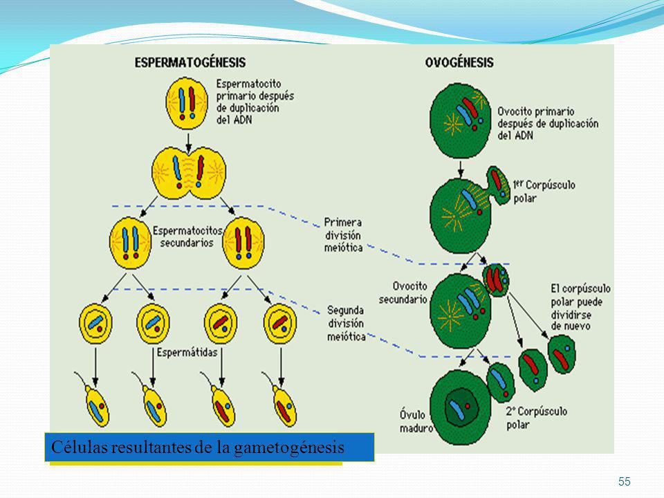 55 Células resultantes de la gametogénesis
