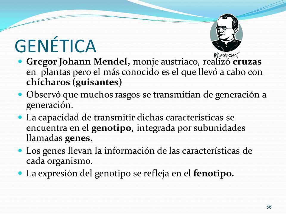 GENÉTICA Gregor Johann Mendel, monje austriaco, realizó cruzas en plantas pero el más conocido es el que llevó a cabo con chícharos (guisantes) Observ