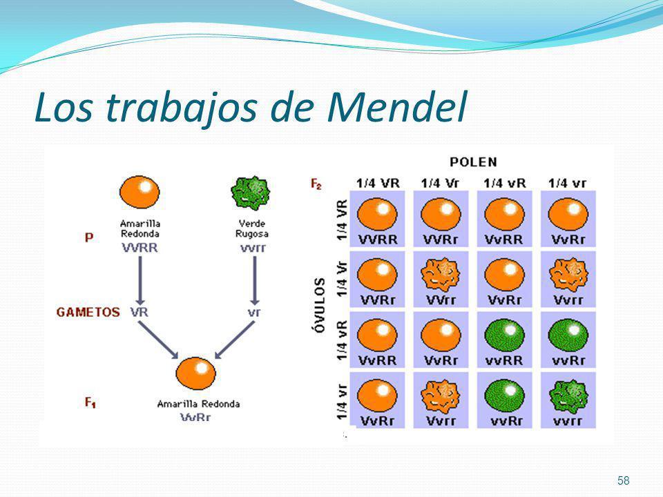Los trabajos de Mendel 58