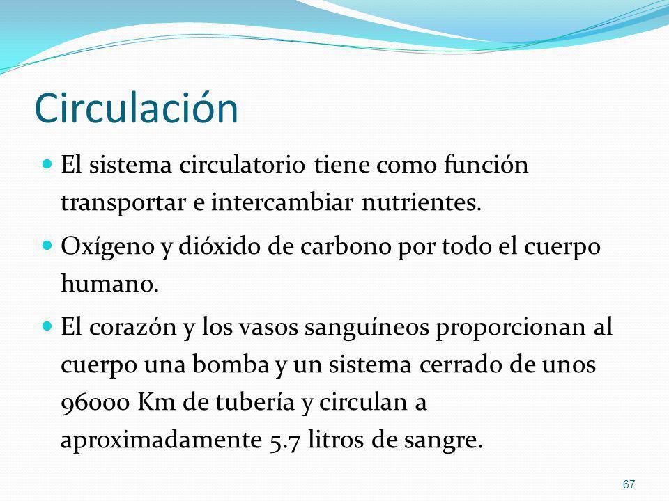 Circulación El sistema circulatorio tiene como función transportar e intercambiar nutrientes. Oxígeno y dióxido de carbono por todo el cuerpo humano.