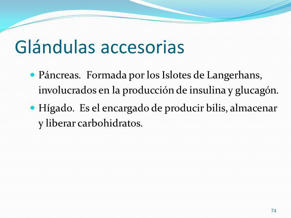 Glándulas accesorias Páncreas. Formada por los Islotes de Langerhans, involucrados en la producción de insulina y glucagón. Hígado. Es el encargado de