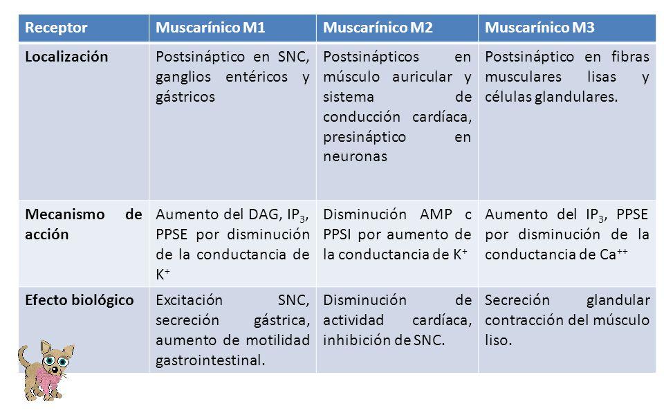 ReceptorMuscarínico M1Muscarínico M2Muscarínico M3 LocalizaciónPostsináptico en SNC, ganglios entéricos y gástricos Postsinápticos en músculo auricula