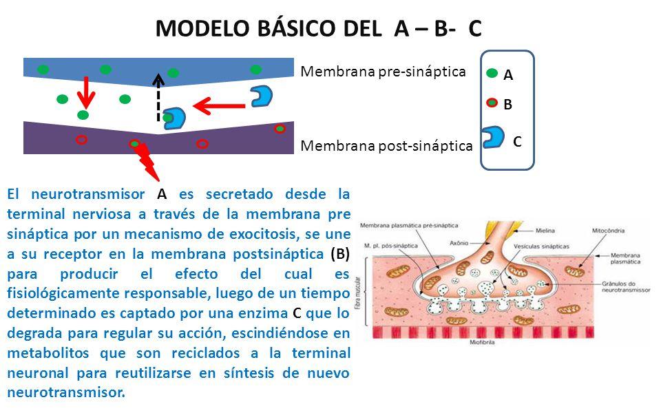 MODELO BÁSICO DEL A – B- C El neurotransmisor A es secretado desde la terminal nerviosa a través de la membrana pre sináptica por un mecanismo de exoc