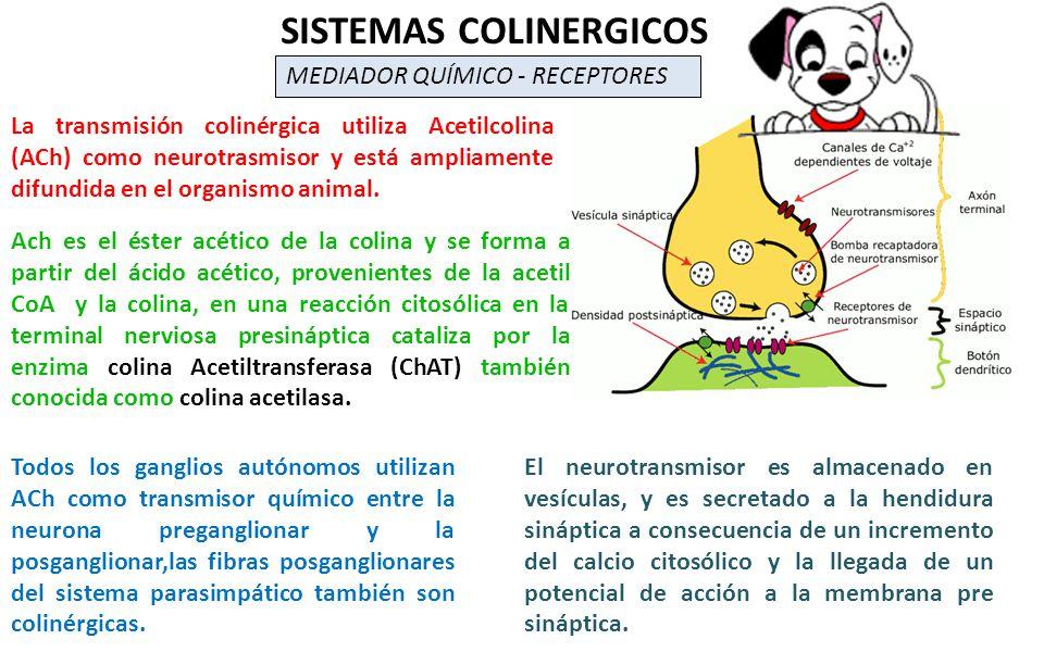 La transmisión colinérgica utiliza Acetilcolina (ACh) como neurotrasmisor y está ampliamente difundida en el organismo animal. SISTEMAS COLINERGICOS M